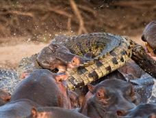 鳄鱼混入河马群被咬死[图集]