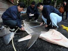 广西博物馆解剖鲨鱼做标本 剖出16条小鲨[图集]