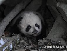 陕西佛坪再次在野外发现大熊猫幼仔[图集]