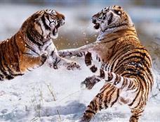 凶残的兽性 摄影师拍摄野生动物争斗照片[图集]