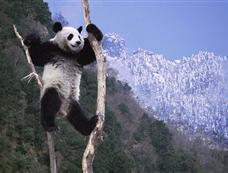 野生动物摄影师拍摄卧龙大熊猫冬日生活场景[图集]