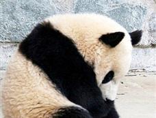 大熊猫睡梦中翻跟头[图集]