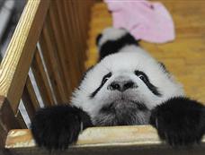 熊猫宝宝欲翻越婴儿床[图集]