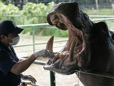 哥伦比亚动物园河马看牙记[图集]