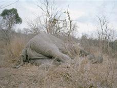 津巴布韦食物短缺 数百村民瓜分一头大象尸体[图集]