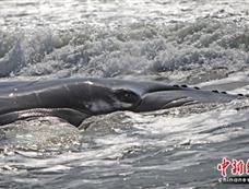 座头鲸幼鲸在纽约搁浅[图集]