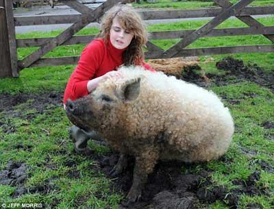 由于长着一身酷似绵羊的卷毛,在近日的拍卖会