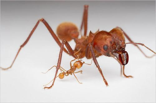 王国 黑色 蚂蚁/13、子弹蚁