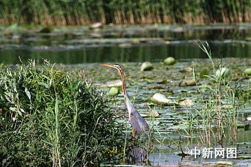 罗纹鸭属于国家几级保护动物