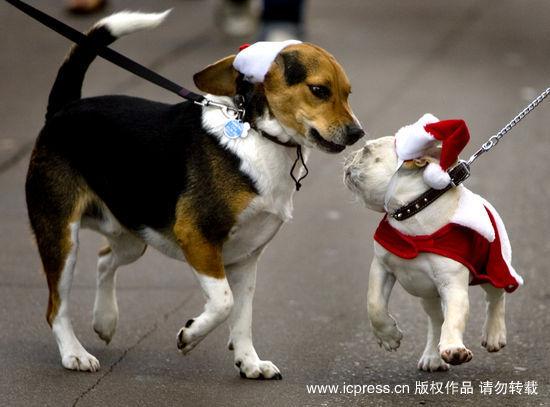 2009美国圣诞节:加州举行圣诞节宠物游行