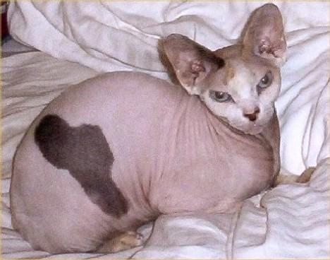在它们身体上本应该出现暗色皮毛的地方,会有色素存在 猫类的无毛现象是由特定的隐性基因所引起的,这就意味着一只无毛猫的父母亲肯定都携带一种与无毛有关的基因。除非是猫类近亲繁殖或是双方都携带有相关基因,否则事实上无毛现象仍然是一种罕见的现象。加拿大无毛猫其实并非是完全无毛。它们和无毛狗、无毛大象和无毛海洋哺乳动物一样,都有少量的毛发,不过这些毛发的数量和长度都已大大缩减。有些人把加拿大无毛猫的皮毛看作是一种桃色绒毛。加拿大无毛猫另一个重要特点就是,在它们身体上本应该出现暗色皮毛的地方,会有色素存在。