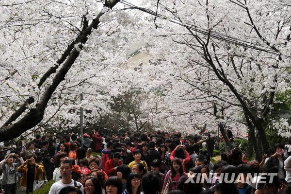 武汉大学樱花大道上游人如织
