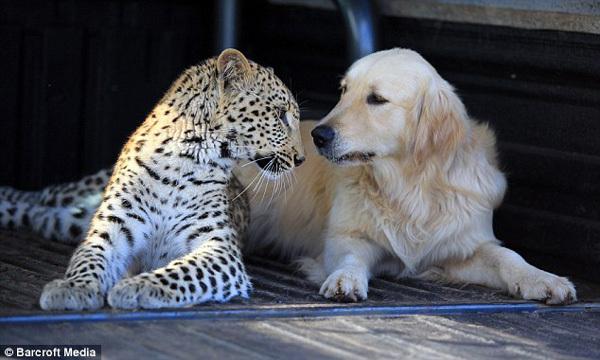 莎拉蒂和汤米深情对视 据英国《每日邮报》5月6日报道,在南非一处私人庄园里,一只金毛猎犬和一只豹子居然成了好朋友,两个小家伙经常亲密无间地玩耍休憩。 雌豹莎拉蒂只有10个月大,它的好朋友金毛猎犬名叫汤米。两个小家伙的主人名叫理查德布鲁克,现年23岁。莎拉蒂、汤米和主人布鲁克一起生活在南非比勒陀利亚。 布鲁克家族在南非有一处占地1850英亩(约749万平方米)的私人庄园,那里是帮助受伤动物康复的好地方。布鲁克的工作是保护当地的野生动物。几个月前,一名当地兽医把莎拉蒂送到了布鲁克的私人庄园,那时的莎拉蒂仅