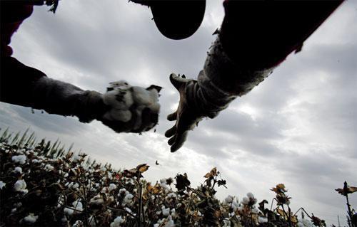 新疆棉花/新疆棉花收购季已结束,但相关博弈并未结束。CFP