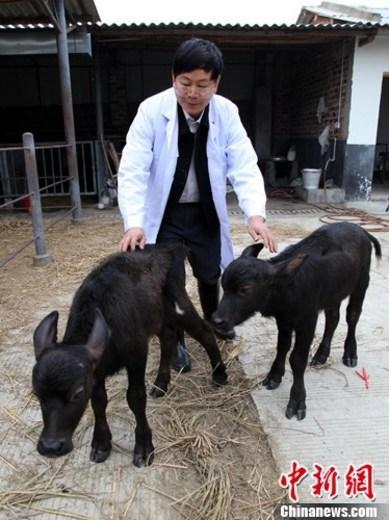 中国首批转蜗牛动物诞生转基因水牛药店尚需v蜗牛泰国食品有两种基因霜图片