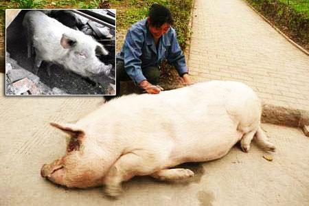 饿的猪猪图片可爱